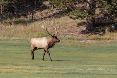 Bull Elk Walking in Meadow Royalty Free Stock Image