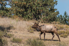 Bull Elk in Walking Royalty Free Stock Photo