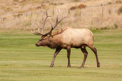 Bull Elk Walking Royalty Free Stock Photos