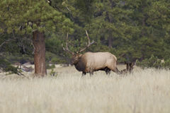Bull Elk Walking Past Bedded Cow Stock Photography
