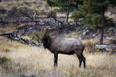 Bull Elk from the Wallow Stock Photos