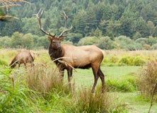 Bull Elk on Watch Stock Photo