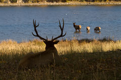 Bull Elk Watching Family Stock Photo