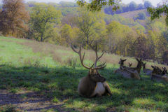 Bull Elk Watching His Harem Stock Photo