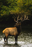 Bull Elk in Water stock photography