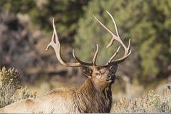 Bull elk wildlife antlers closeup Stock Photography