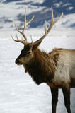 Bull Elk Winter stock image