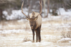 Bull elk in winter Royalty Free Stock Images