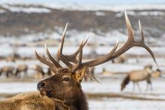 Bull elk winter portrait Stock Image