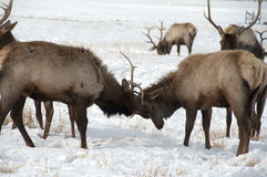 Free Bull Elk With Large Antlers Fighting Each Other Royalty Free Stock Photo - 68131715