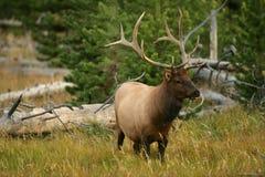 Bull Elk in Yellowstone stock photos