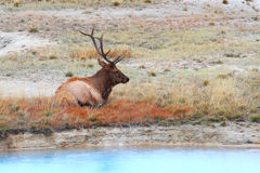 Bull Elk at Yellowstone Royalty Free Stock Images