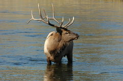Bull Elk. In Yellowstone National Park on the lookout in the Madison river Stock Image