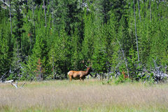 Bull Elk in Yellowstone Royalty Free Stock Photos