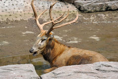 A Bull elk Royalty Free Stock Photo
