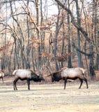 Bull elks Royalty Free Stock Photo