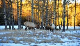 Free Bull Elks Royalty Free Stock Images - 8168089