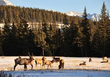 Free Bull Elks Royalty Free Stock Images - 8179339