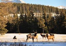 Bull elks Royalty Free Stock Photos