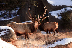 Bull elks in cold weather Royalty Free Stock Images