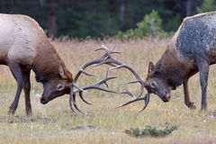 Bull Elks fighting Stock Image