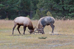 Bull Elks fighting Royalty Free Stock Images