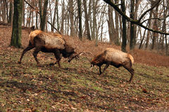 Bull elks fighting Royalty Free Stock Image