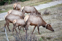 Bull Elks Stock Photos