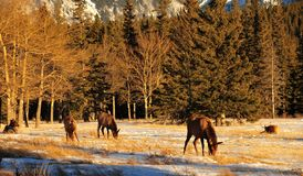 Bull elks on meadow stock images