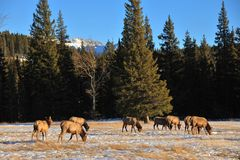 Bull elks on meadow Royalty Free Stock Photos