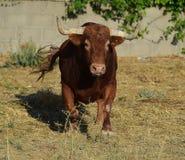 Bull em Spain Imagem de Stock