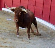 Bull em Spain imagens de stock