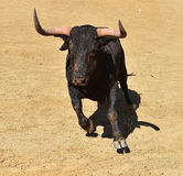 Bull em Spain Foto de Stock