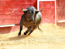 Bull em Spain Fotos de Stock