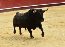 Bull em spain com chifres grandes fotografia de stock royalty free