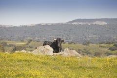 Bull em um campo Fotografia de Stock Royalty Free