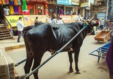 Bull en arnés Fotos de archivo libres de regalías