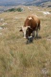 Bull en el pasto de la montaña Imágenes de archivo libres de regalías