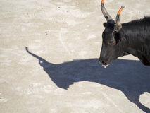 Bull en la arena Imagen de archivo