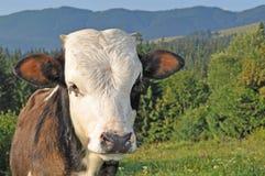 Bull en las montañas Imagenes de archivo