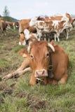 Bull en montagne Images libres de droits