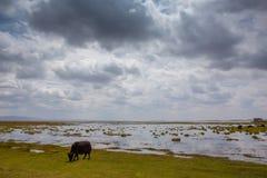 Bull en pantano Imagen de archivo libre de regalías