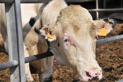 Bull en una granja imágenes de archivo libres de regalías