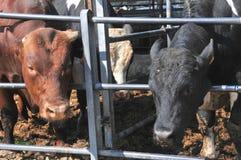 Bull en una granja imagen de archivo libre de regalías