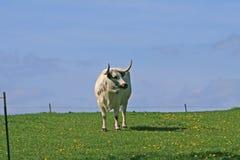 Bull estando imagem de stock