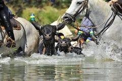 Bull et chevaux dans l'eau Photographie stock