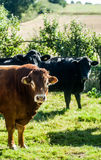 Bull et vaches Image stock