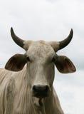 Bull fâché Photos libres de droits