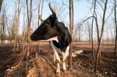 Bull on the farm Stock Photography
