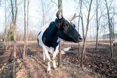 Bull on the farm Royalty Free Stock Image